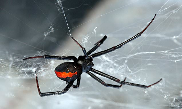 Man is left unable to urinate after being bitten by black widow spider