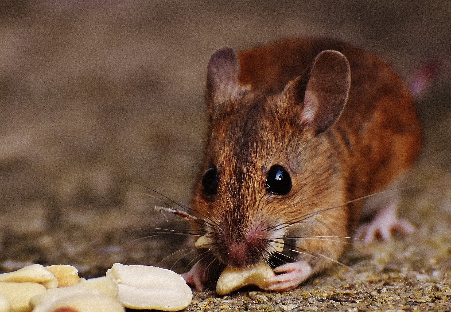 Blocking protein's activity restores cognition in old mice, study shows