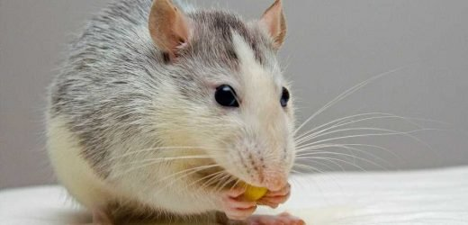 Feeding juvenile rats extra omega-3 PUFAs and vitamin A shown to reduce negative health impact of stress