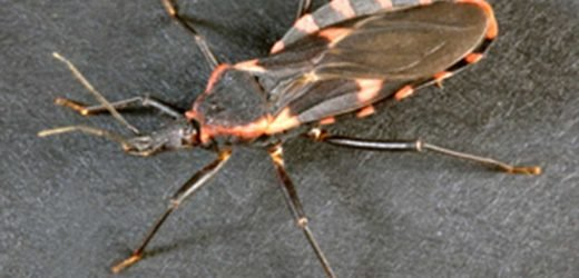 Potentially Deadly 'Kissing Bug' Found in Delaware After Biting a Child