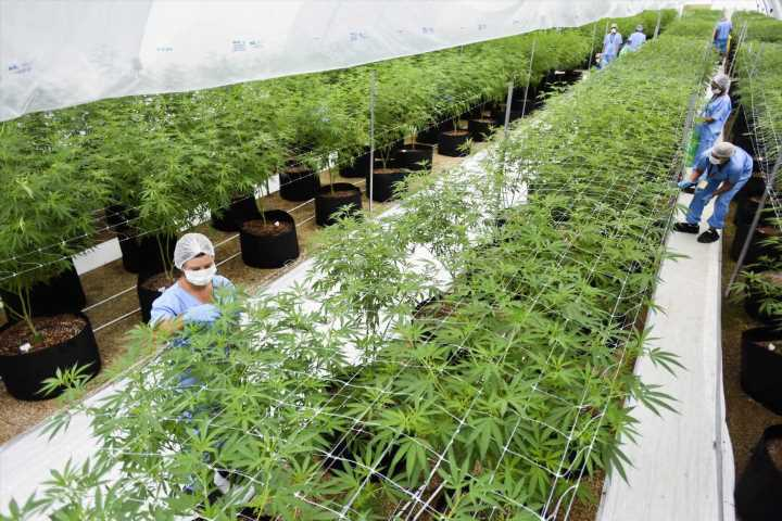 Two firms first to export LatAm medicinal marijuana to Europe