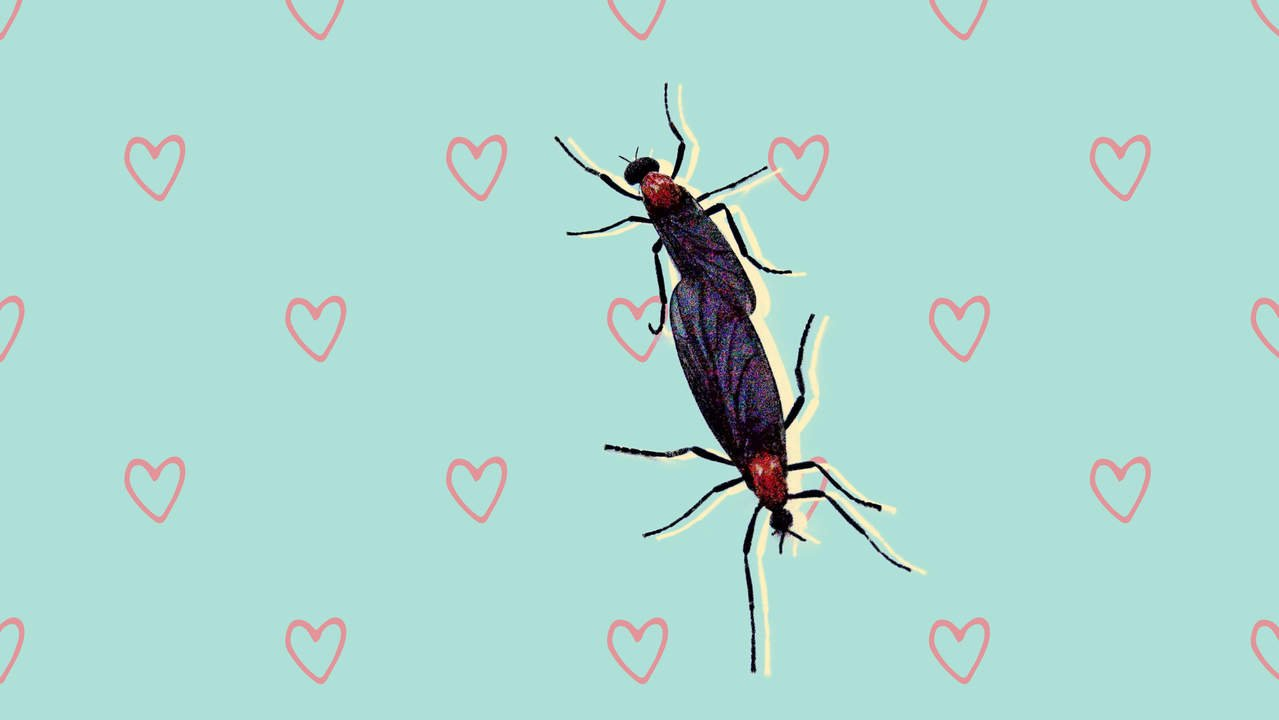 The Lovebug Is Invading Parts of the US—Here's What You Need to Know About This Insect