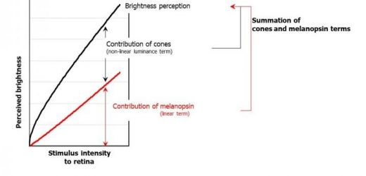 Shedding light on how the human eye perceives brightness