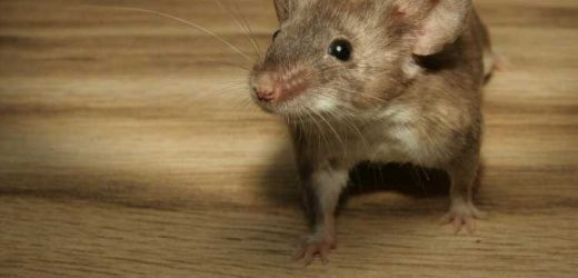 New research provides better way to gauge pain in mice