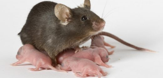 Of mice and babies: New animal model links blood transfusions to dangerous digestive disease in premature babies