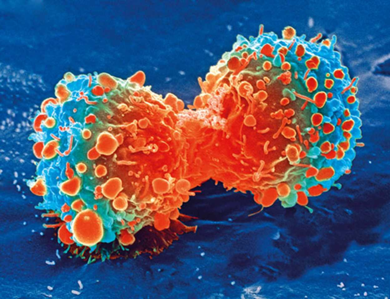 Encouraging normal liver cells to fight cancer