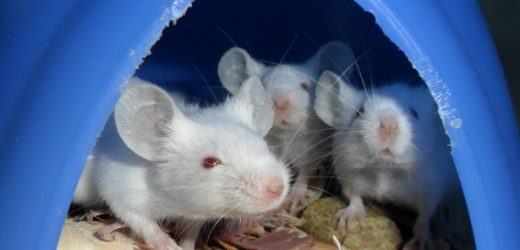 Poop matters: Making the mouse gut microbiome more human-like