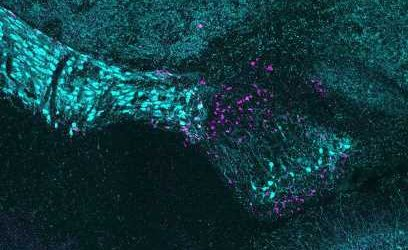 Scientists discover cellular structure of poorly understood visual brain region