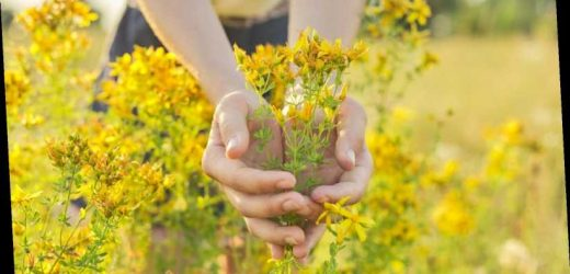 Here's what you need to know before taking St. John's Wort