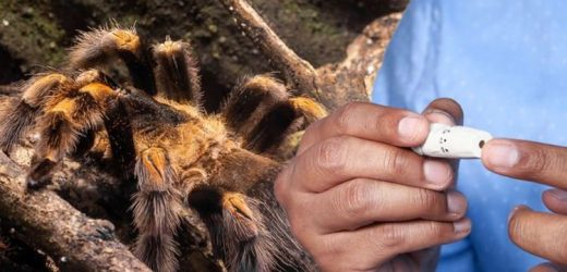 Type 2 diabetes: Tarantula venom could be a breakthrough treatment finds new research