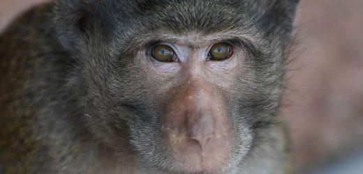 Man in China dies of rare monkey B virus